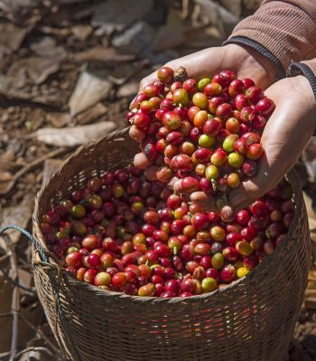 Coffee farmer hands holding a bamboo basket containing freshly picked red ripen arabica coffee berries cherries at coffee plantation Laos
