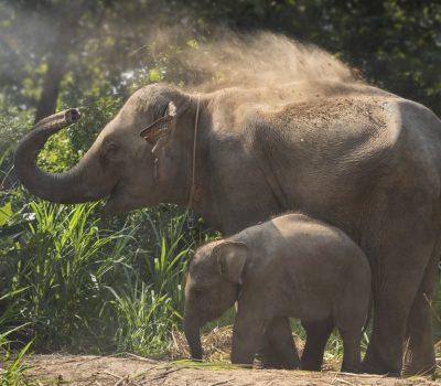 Laos elephant baby